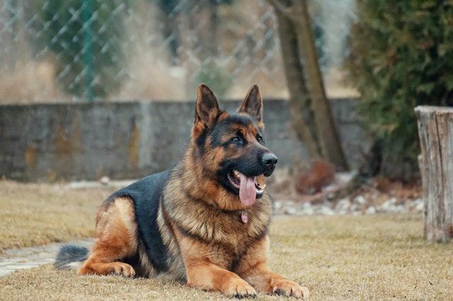 Germen Shepherd